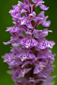 orchis-III