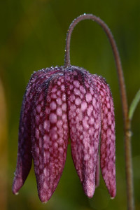 Fritillaire-II